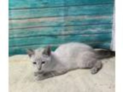 Adopt SARAH a Siamese, Domestic Short Hair