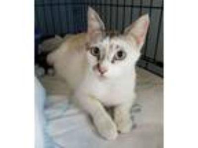 Adopt Nonnie a Siamese, Domestic Short Hair