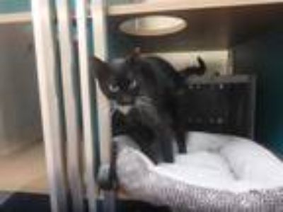 Adopt SARABI a All Black Domestic Shorthair / Mixed (short coat) cat in Naples