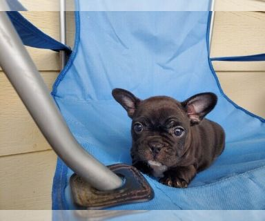 French Bulldog PUPPY FOR SALE ADN-131212 - AKC French Bulldog Girl