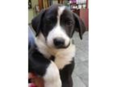 Adopt Watson - Available after 06/27 a Black - with White Mixed Breed (Medium) /