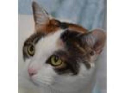 Adopt Pepper a White Domestic Shorthair / Domestic Shorthair / Mixed cat in