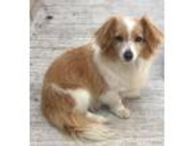 Adopt Benny a Red/Golden/Orange/Chestnut - with White Corgi / Mixed dog in
