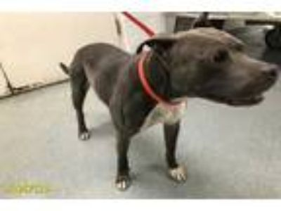 Adopt SHEBA a Brown/Chocolate - with White American Pit Bull Terrier / Mixed dog