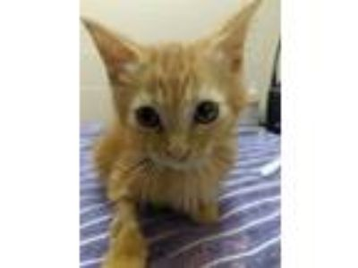 Adopt Bahn-Mi a Domestic Short Hair
