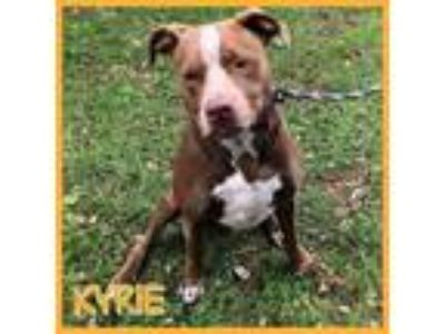 Adopt Kyrie a Pit Bull Terrier, Spaniel