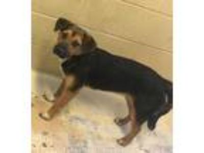 Adopt Olive a Black Beagle / Shepherd (Unknown Type) / Mixed dog in West