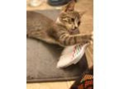Adopt Theodore a Tabby