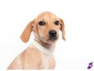 Adopt TOULA a Tan/Yellow/Fawn Labrador Retriever / Mixed dog in Murray