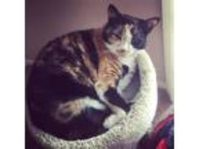 Adopt Nallah a Black & White or Tuxedo Calico / Mixed cat in Charlestown