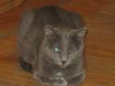 Adopt Renegade a Russian Blue, Domestic Short Hair