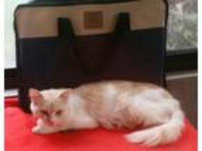 Adopt Savanna a Cream or Ivory Domestic Longhair (long coat) cat in Inverness