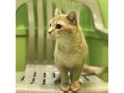 Adopt Mimi a Tan or Fawn Domestic Shorthair / Domestic Shorthair / Mixed cat in