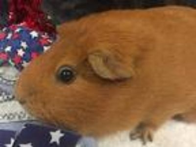 Adopt Apricot a Guinea Pig small animal in Portland, OR (25548310)
