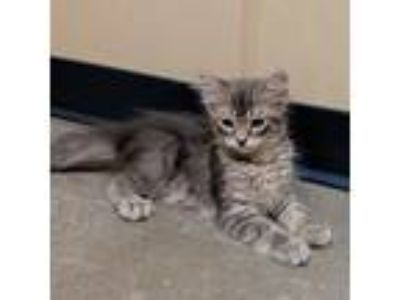 Adopt Clover a Gray or Blue Domestic Mediumhair / Domestic Shorthair / Mixed cat
