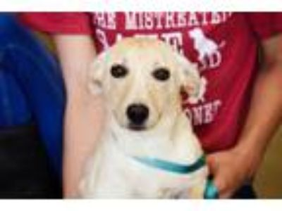 Adopt Blanch a Labrador Retriever, Australian Cattle Dog / Blue Heeler