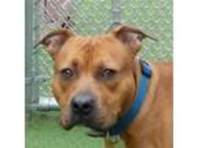Adopt Saber a Brown/Chocolate American Pit Bull Terrier / Mixed dog in Valley