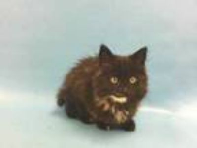 Adopt Frieda a All Black Domestic Longhair / Mixed cat in St.