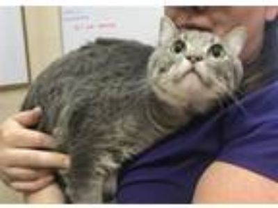 Adopt Grey Boy a Domestic Short Hair
