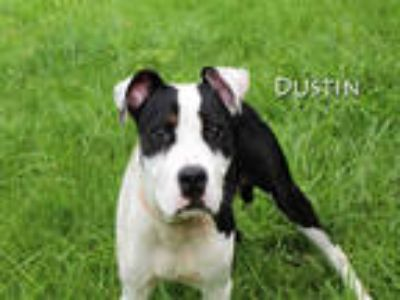 Adopt DUSTIN a Black - with White American Pit Bull Terrier / Mixed dog in Fort