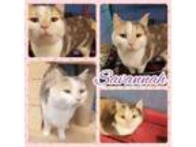 Adopt Savanna a Domestic Shorthair / Mixed (short coat) cat in Henderson