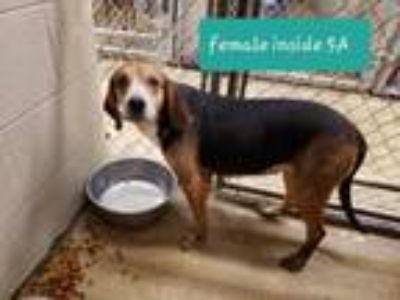 Adopt Brenda a Tricolor (Tan/Brown & Black & White) Beagle / Hound (Unknown