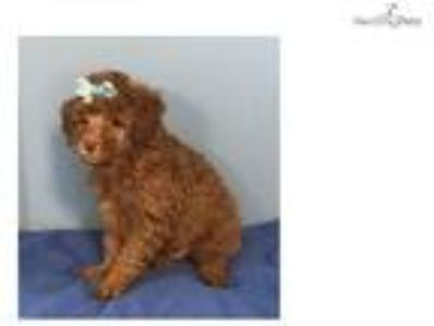Mufasa Cute Toy Poodle Puppy for sale Bayside