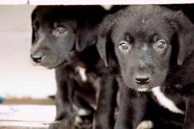 Borador PUPPY FOR SALE ADN-95072 - Darling Borador Puppies