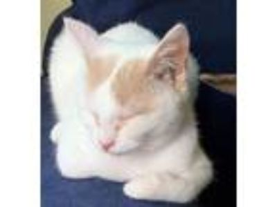 Adopt Jenna a White (Mostly) Domestic Shorthair (short coat) cat in New Milford
