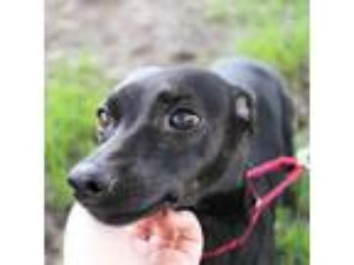 Adopt Elisha a Black Terrier (Unknown Type, Medium) dog in Northbrook