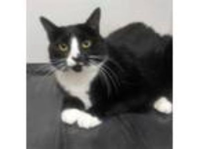 Adopt Panda a All Black Domestic Shorthair / Domestic Shorthair / Mixed cat in