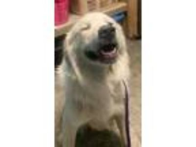 Adopt Captain a White Great Pyrenees / Mixed dog in Lewiston, ID (25575126)