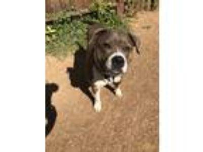Adopt Brooklyn a Brindle American Pit Bull Terrier / Mixed dog in Sacramento