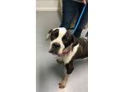 Adopt Coral Fostered (Ally) a Boxer