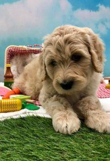 CKC F1 & F1b Goldendoodle Puppies!