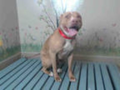 Adopt DAISY a Red/Golden/Orange/Chestnut American Pit Bull Terrier / Mixed dog