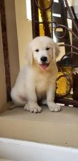 Golden Retriever PUPPY FOR SALE ADN-95145 - Beautiful golden retriver