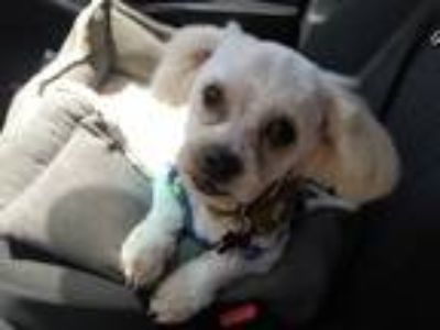 Adopt Rolo a White Poodle (Miniature) / Shih Tzu / Mixed dog in Oakley