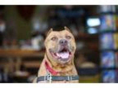 Adopt Charlie a American Staffordshire Terrier / Mixed dog in Oceanside