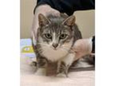 Adopt Serena a Domestic Shorthair / Mixed cat in Oceanside, CA (25318172)