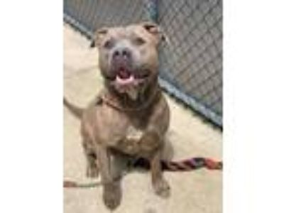 Adopt Burger a Brindle Pit Bull Terrier / Mixed Breed (Large) / Mixed dog in