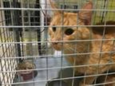 Adopt MARLEY a Orange or Red Domestic Shorthair / Mixed (short coat) cat in
