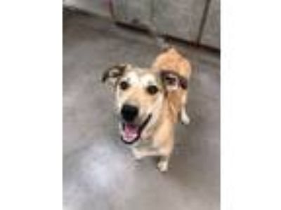 Adopt Honey Bun a Collie, Husky