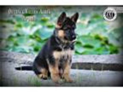 AKC German Shepherd Puppies [phone removed]