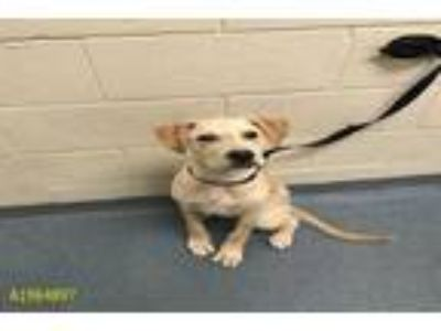 Adopt SIMBA a Tan/Yellow/Fawn Labrador Retriever / Mixed dog in West Palm Beach