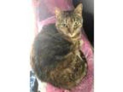 Adopt Gidget a Tortoiseshell Domestic Shorthair / Mixed cat in Flint