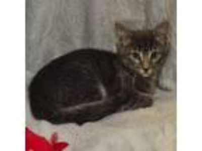 Adopt Reed a Gray, Blue or Silver Tabby Domestic Shorthair / Mixed (short coat)