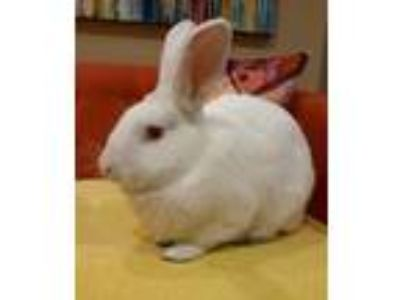 Adopt Rayne a White New Zealand / New Zealand / Mixed rabbit in Bend
