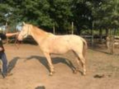 Albino Andalusian For Sale