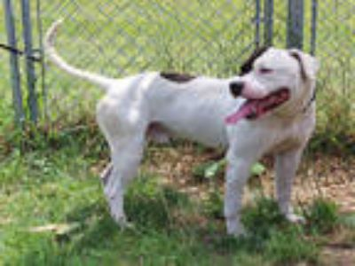 Adopt DAN a White - with Black American Pit Bull Terrier / Mixed dog in